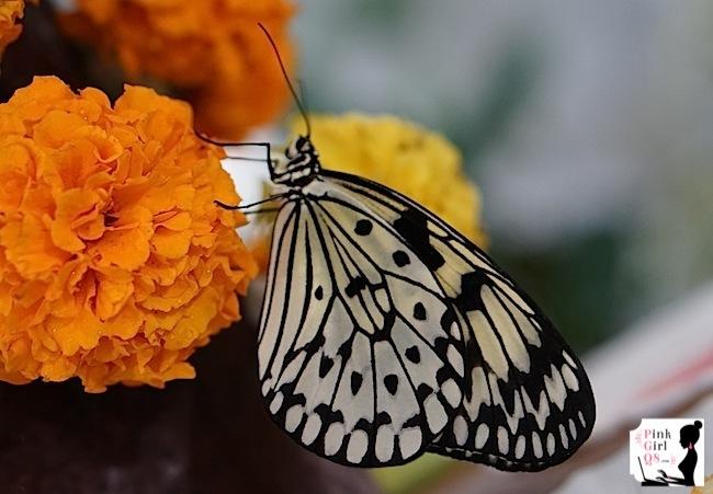 butterflygar9
